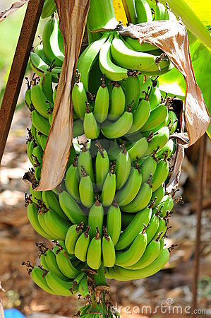 Natured banana