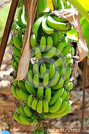 Natured banana