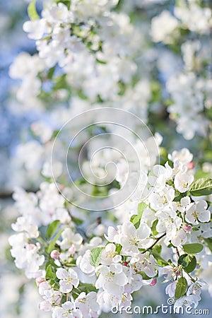 Natures spring Bouqet Flowering Crab Apple Tree