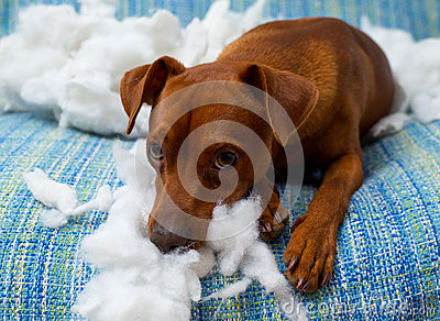 Naughty playful puppy dog after biting a pillow