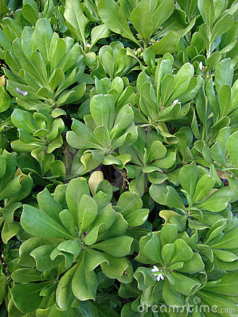 Naupaka Hawaiian Plant