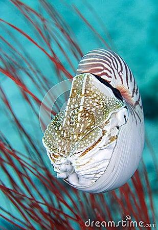 Free Nautilus Shell Royalty Free Stock Images - 2980599