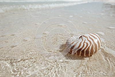Nautilus shell  in golden sea wave, shallow dof