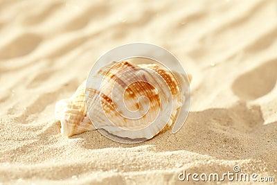 Nautilus shell on sand, beach grass