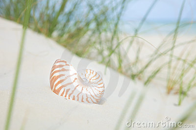 Nautilus shell on sand, beach grass