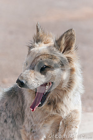 Navajo stray dog