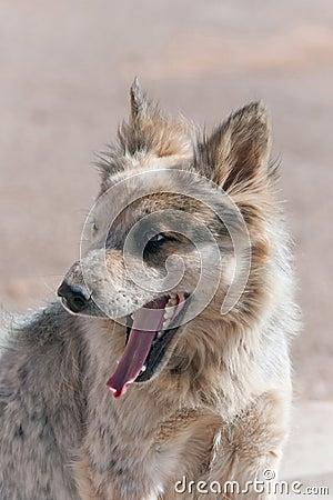 Navajo stray dog