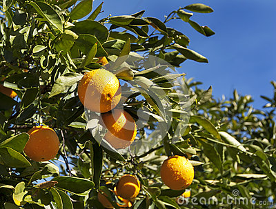 Naval Orange Tree