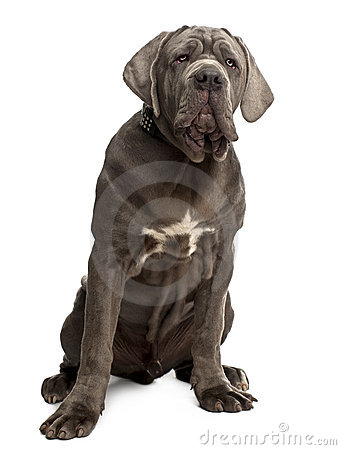 Neapolitan Mastiff puppy, 6 months old, sitting