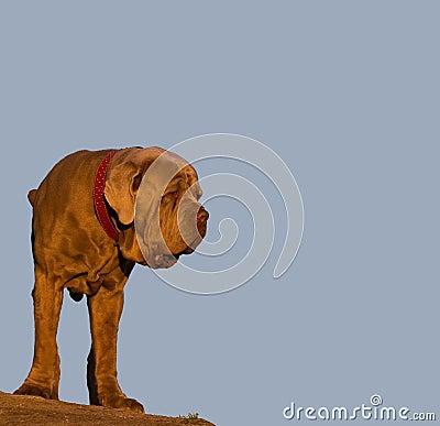 Neapolitan mastiff - guard dog