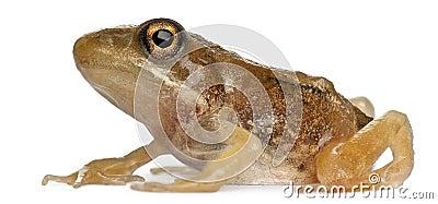 Nearly adult Common Frog, Rana temporaria