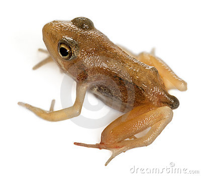 Nearly adult Common Frog, Rana temporaria