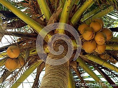 Nearly Ripe Coconuts