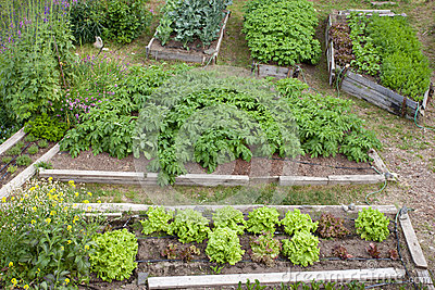 Raised beds of various vegetable plants potatoes