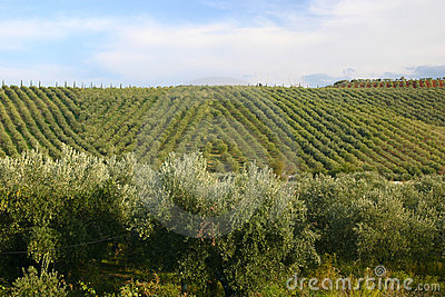 Neat rows of grapes with olive
