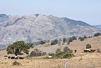Nebrodi mountains and cows