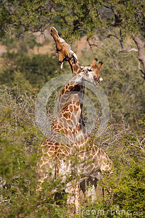 Necking giraffe