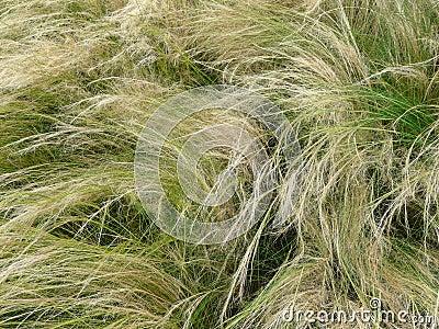 Needle Grass, Nassella tenuissima