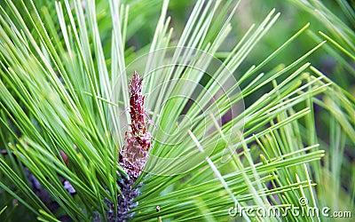 Needle Plant