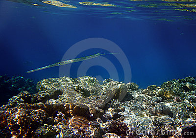 Needlefish and coral