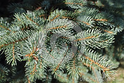 Needles on a Branch of a Spruce Tree