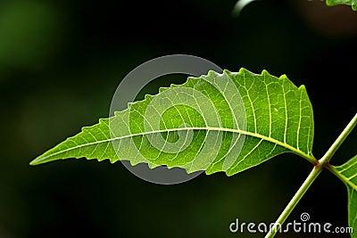 Neem Leaf-Azadirachta Indica Royalty Free Stock Image - Image: 21285936