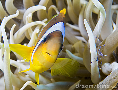 Nemo fish with small shrimp