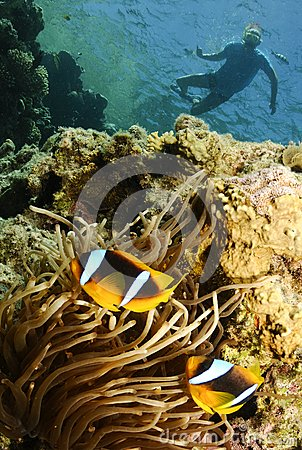 Nemo fish and snorkeler