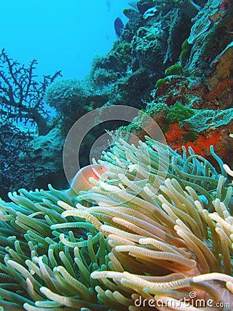 Free Nemo, Skunk Anemone Royalty Free Stock Image - 528846