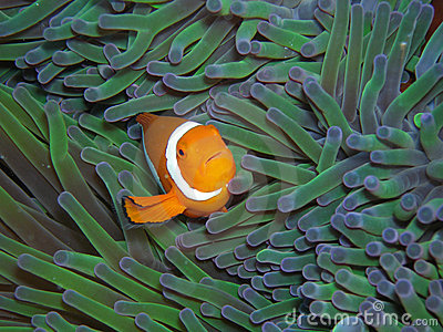 Nemo True Clown Anemonefish