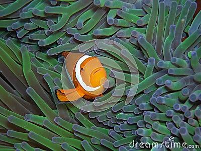 Nemo True Clown Anemonefish