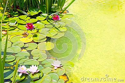 Nenufar Water Lilies on green water pond