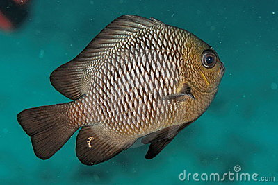 Neoglyphidodon melas - Similan islands, Thailand