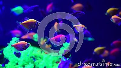 Neon glowfish W akwarium słodkowodnym żyjące zwierzęta 4k wideo zbiory wideo