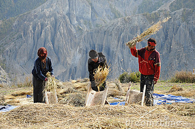 Nepalese people process cereals harvest, Nepal Editorial Image