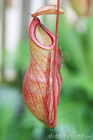 Nepenthes ,eat insect flower,