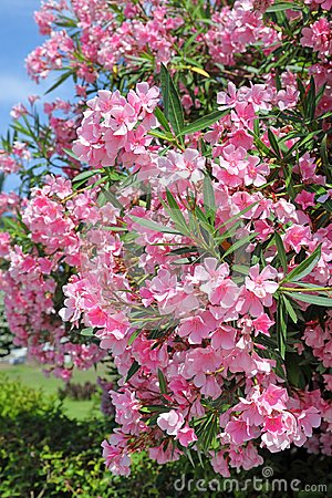 Free Nerium Oleander. Bush With Pink Flowers Oleander Close-up Royalty Free Stock Image - 123294536