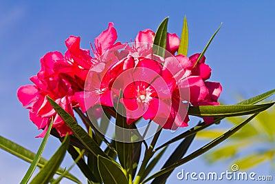 Nerium oleander flowers