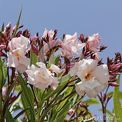 Nerium oleander, Oleander tree