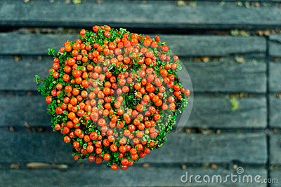 Nertera granadensis- pot plant