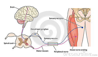 Nerve control of muscle