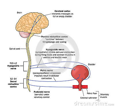 Free Nerve Pathways To The Bladder Royalty Free Stock Photo - 25337225