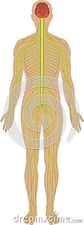 Free Nervous System Stock Photo - 6932320
