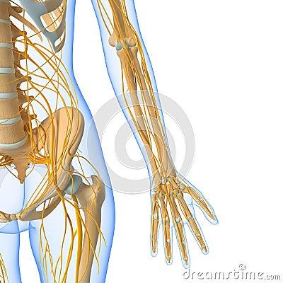 Nervous system of female body