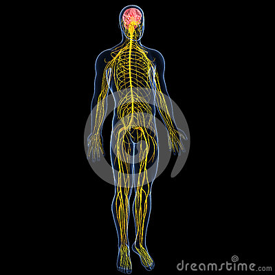 Nervous system with full body of male