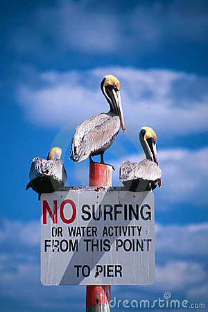 Nessun pellicani praticanti il surfing
