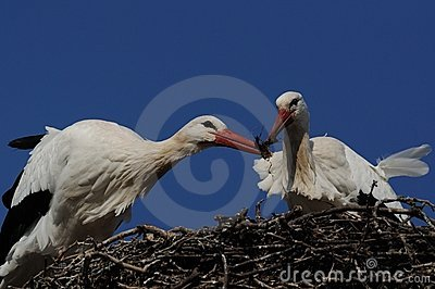 Nest Building by Stork