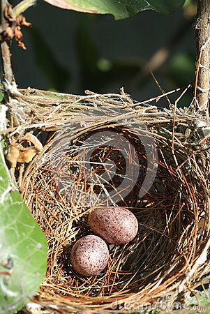 Nest and eggs 1