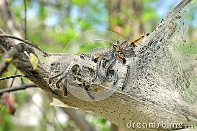 Nest of tent caterpillars