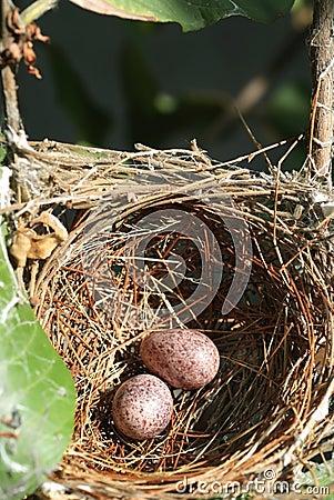 Nest und Eier 1